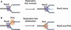 31 The Diagram Below Shows A Bacterial Replication Fork