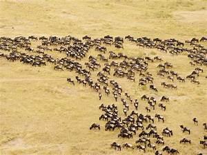 Beautiful Animals Safaris: The Amazing Great Wildebeest ...