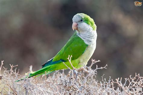 quaker parakeet quaker parrot or monk parakeet pets4homes