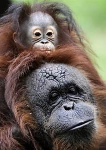 Orphaned baby Orangutan gets a mommy (4 pics) | Amazing ...  Baby