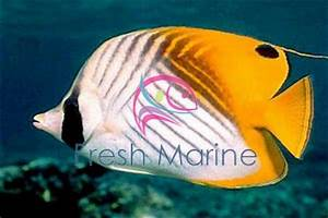 FreshMarine.com - Tear Drop Butterfly - Chaetodon ...