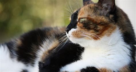 calico cats female cat why always colored tri fur feline brown wideopenpets