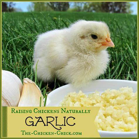 Backyard Chickens Forum by Raising Chickens Naturally Garlic With Herbalist Susan Burek