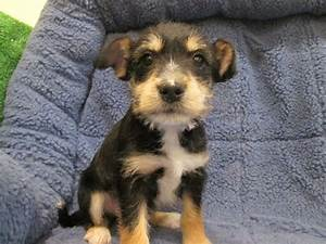Jack Russell Min Pin Cross Google Search Mixed Breed