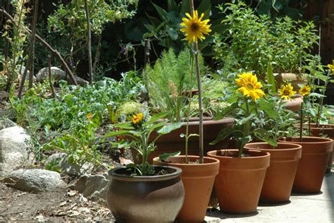image grow sunflowers in containers