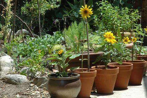 growing sunflowers in pots sunflowers in pots mine are growing fav gardens yard ideas pin