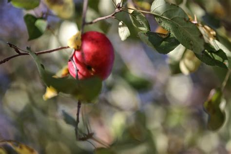 One Apple In The Tree - Bedlam Farm