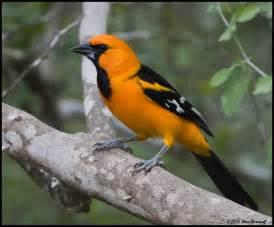 Orange Oriole Bird