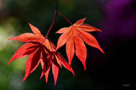 maple leaves japan image gallery japanese maple tree leaf