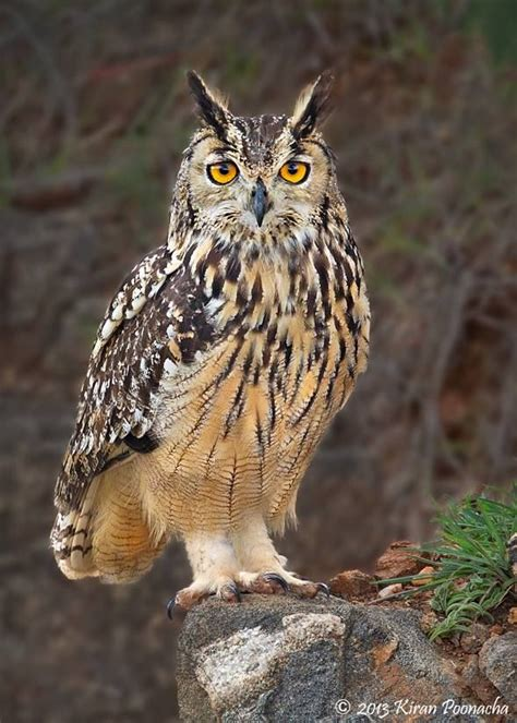 39 Best Eagle Owl Images On Pinterest  Owls, Barn Owls