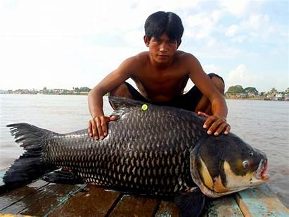 Barb Giant Barbs Freshwater Facts