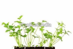Sellerie Pflanzen Kaufen : sellerie apium graveolens stock photo 11194258 ~ Michelbontemps.com Haus und Dekorationen