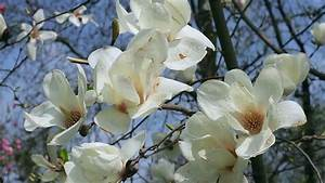 Two Beautiful Magnolia Flowers On A Tree Branch Closeup ...