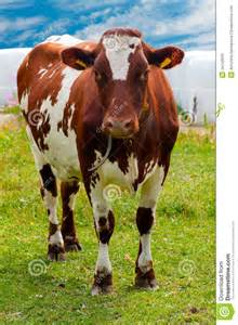 Brown and White Cows Images Free