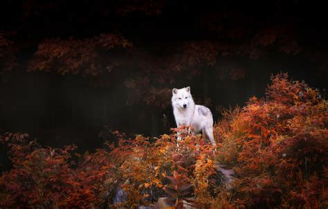 Fall Wallpaper With Animals - nature animals wildlife wolf trees forest leaves