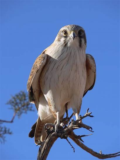 Hawk Eagle Wallpapers Wallpapersafari Tail Tailed