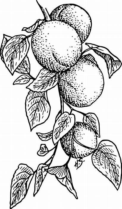 Fruit Peaches Apricots Tree Pixabay