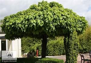 Catalpa Bignonioides Nana : catalpa bignonioides 39 nana 39 kugel trompetenbaum vorgarten ~ Michelbontemps.com Haus und Dekorationen