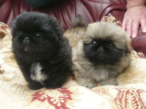 quality pekingese pups colwyn bay conwy petshomes