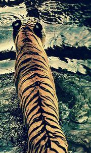 Animal tiger | wallpaper.sc iPhoneXS