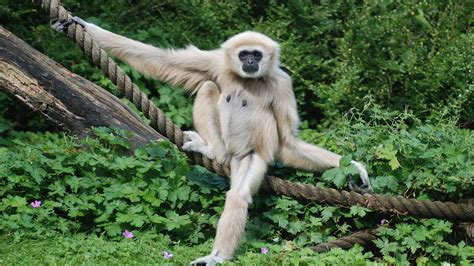 Gibbon Facts, History, Useful Information And Amazing Pictures