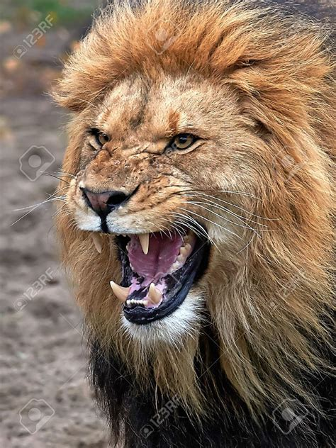 Closeup Angry Lion With Open Mouth Showing Teeth