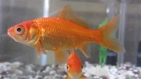 combien de temps vit un poisson