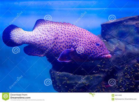 grouper aquarium fish spotted spots fisch beschmutzter barsch covered brown indian punkte welt