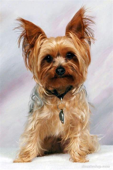 die besten  yorkshire terrier haarschnitt ideen auf pinterest yorkshire terrier yorkshire