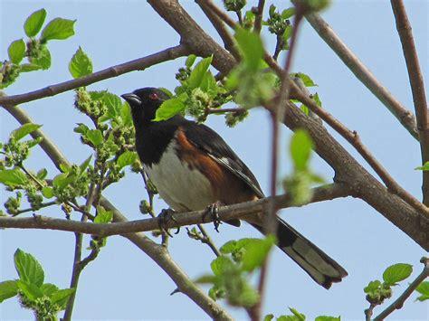 north carolina photos of birds by common name by sid hamm