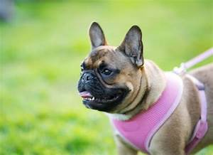 Get The Best Dog Harness For Your Dog U2019s Body Type