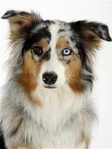Blue-Merle Australian Shepherd Portrait with Odd Eyes ...