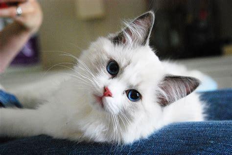 แมวเปอร์เซีย แมวขนยาวแสนน่ารักที่นิยมเลี้ยงกัน ใครหลายๆคน ...