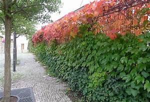 Rankpflanzen Winterhart Immergrün : immergr ne kletterpflanze f r zaun sararussew ~ A.2002-acura-tl-radio.info Haus und Dekorationen