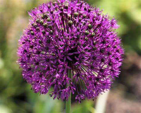 Lila Pilze Im Garten by Lila 2 Zierschnittlauch Foto Bild Pflanzen Pilze