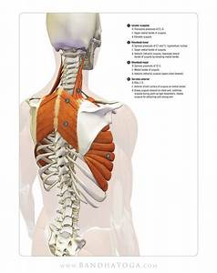 Scapulothoracic Muscles