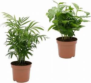 Palmen Kaufen Baumarkt : dominik zimmerpflanze palmen set h he 30 cm 2 pflanzen online kaufen otto ~ Orissabook.com Haus und Dekorationen