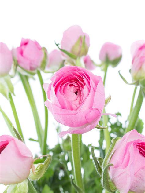 Rosa Blumen by Ranunkeln Pink Rosa Bestellen Blumigo