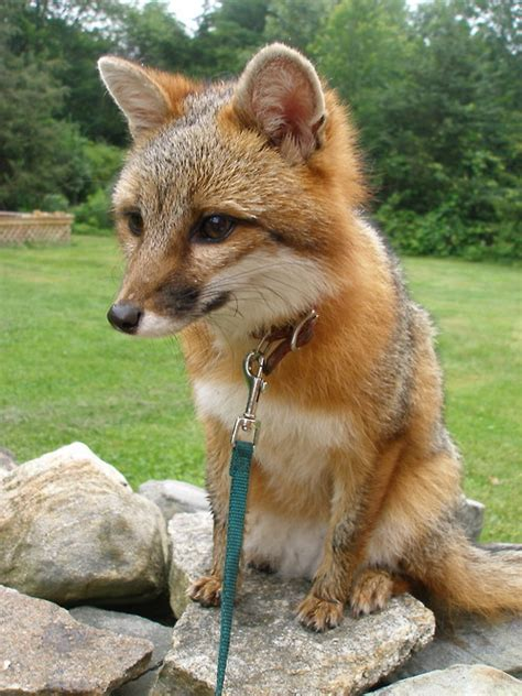 fox pet vulpes vulpes pet fox