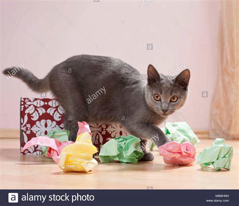 chartreux katze kaetzchen spielen mit einer schachtel mit