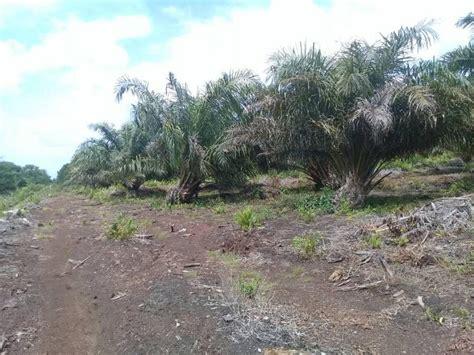 tanah dijual jual kebun sawit  hektar dayun kabsiak