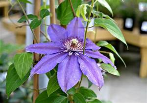 How When To Prune A Clematis Climbing Vine Fairview