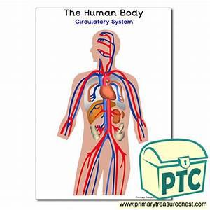U0026 39 The Human Body Circulatory System Poster
