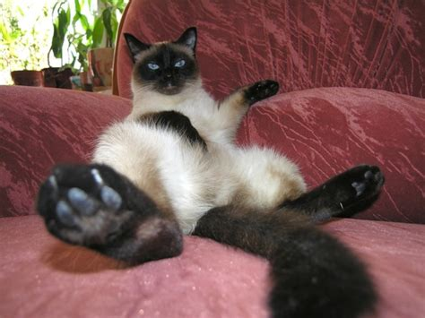 Siamese Cats (95 Pictures)  Funny Cat Dompictcom