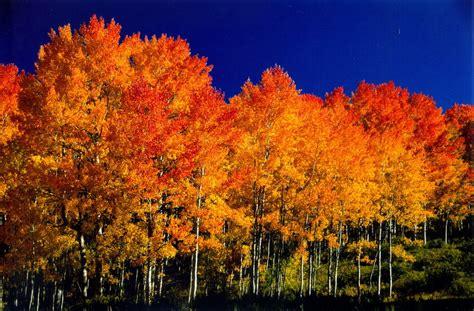 fall colors trees aspen trees fall colors pinterest