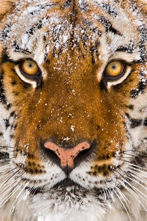 Siberian Tiger Amazing Pictures Close Eyes Colors