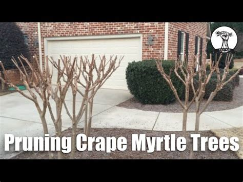 properly prune crape myrtle trees planted  small