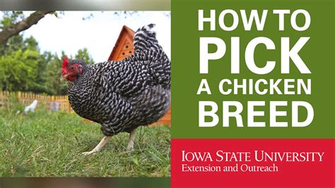 Chicken Breeds Backyard Chickens With Benefits Of A