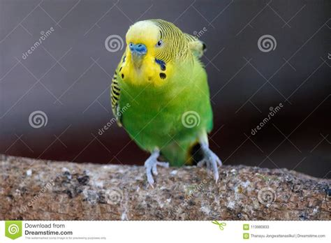small parrot yellow head green body angry action stand