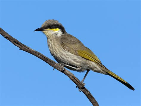 Singing Honeyeater  Wikipedia. Swivel Club Chairs Living Room. Decorative Pieces For Living Room. Small Scale Living Room Furniture. Furniture Stores Living Room Sets. Costco Chairs Living Room. Z Gallerie Living Room. Good Ideas For Living Room Decor. Wall Sconces For Living Room